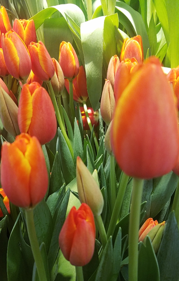 31-tulips-20180117_164754_38853362045_o_900