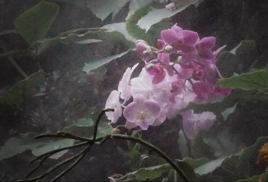orchid-purple-mist-DSC04267_900