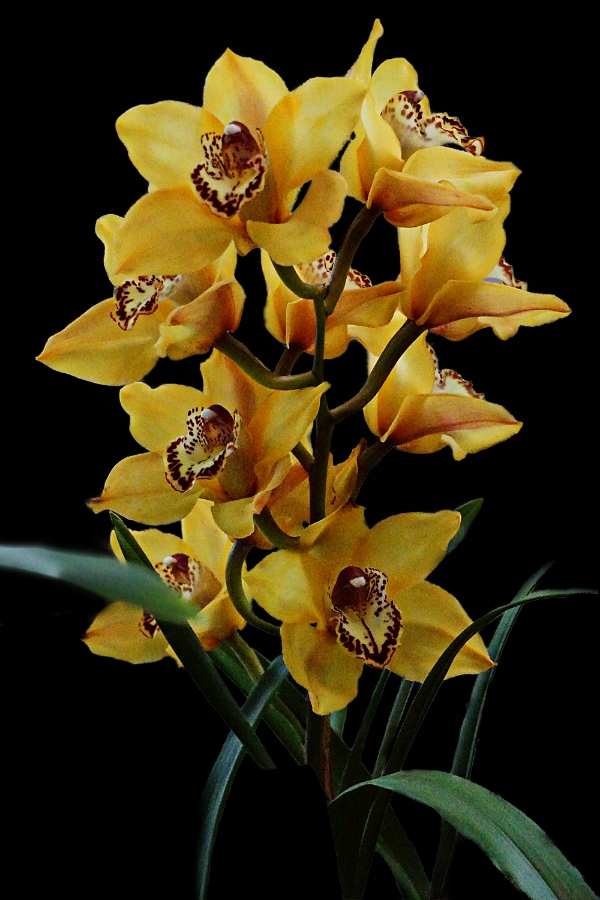 orchid-yellow-900-DSC04340