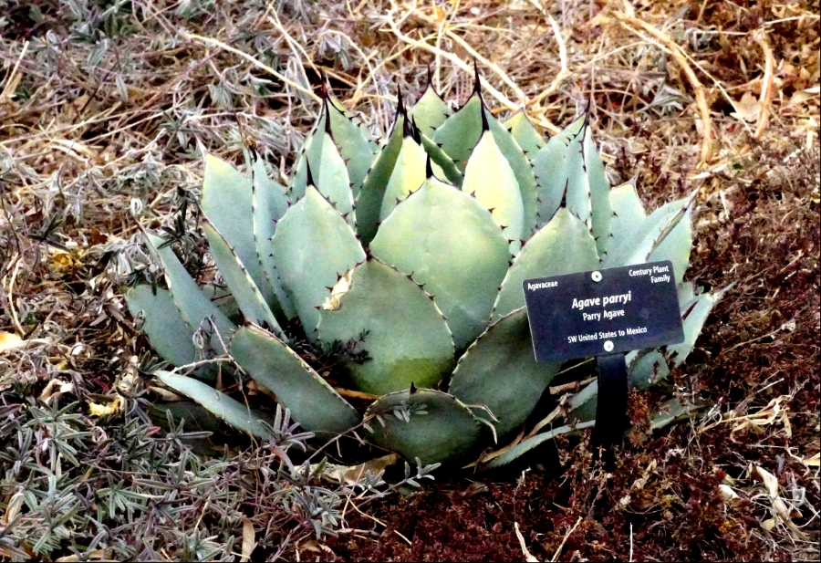 00-Agave-900-DSC04344_A