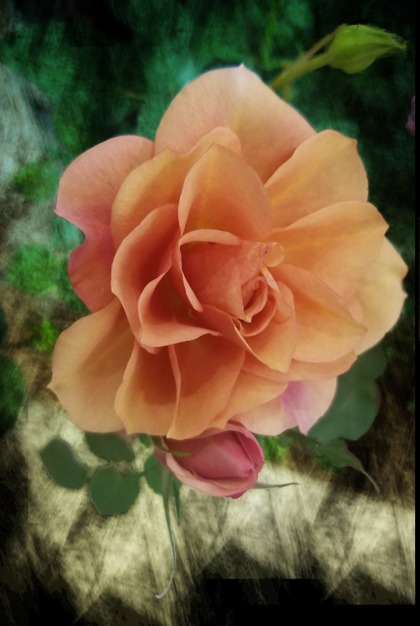 00-apricot-rose[20180212_163215_38423265870_900