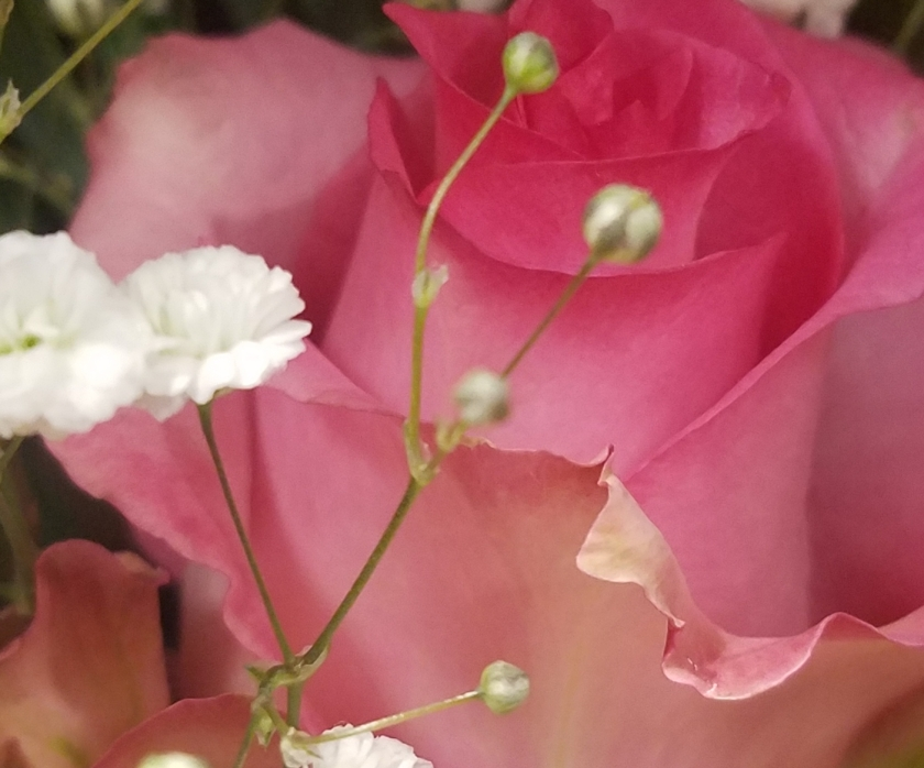 00-pinkrose-20180212_162930_39523289734_o_pe