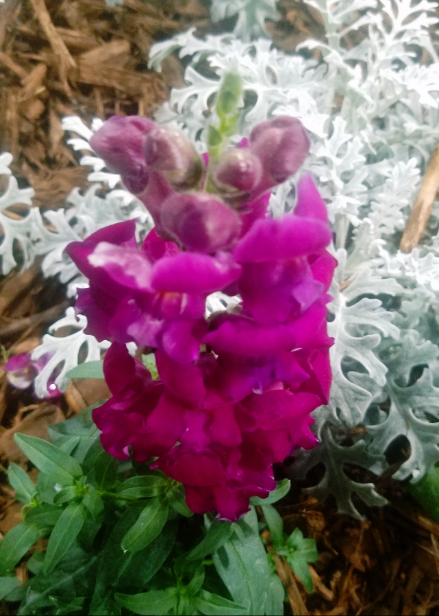 00-snapdragon-purple-900-20180224_150425A