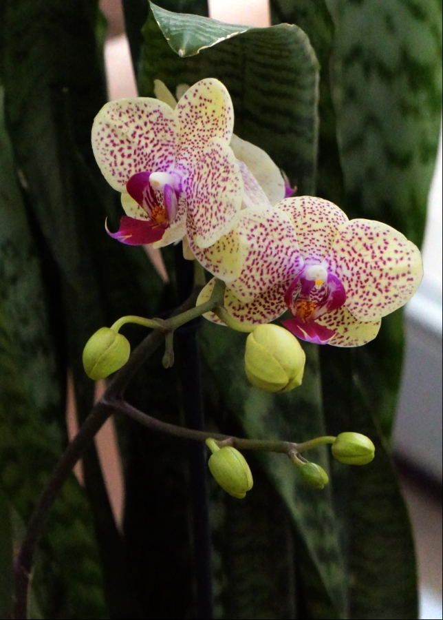 orchid-pinkspots-900-DSC04336