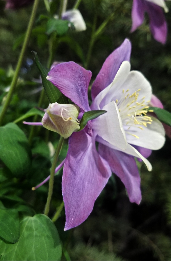 00-columbine-blueviolet020180224_132930_39571258675_900