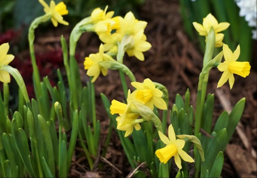 00-daffodils-900-DSC04532_pe