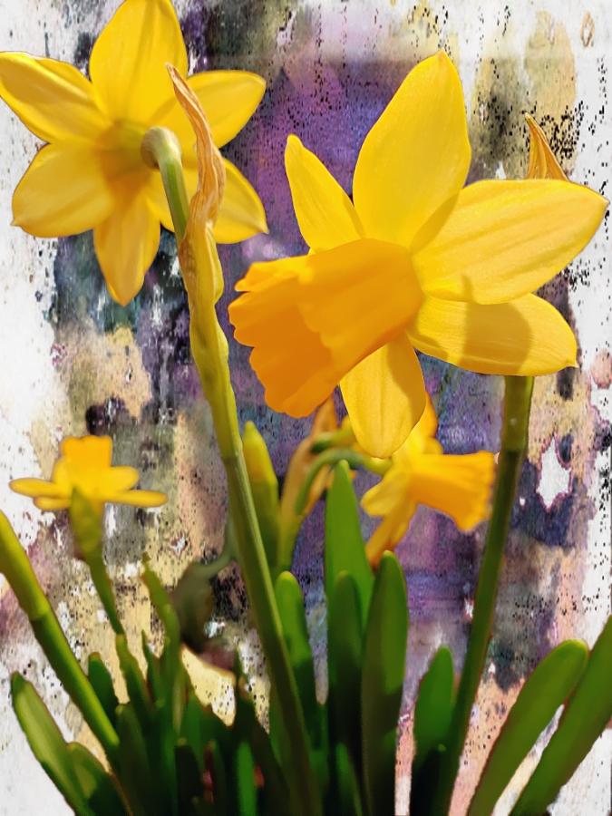 00-daffodils-yellow-20180316_170757_A900