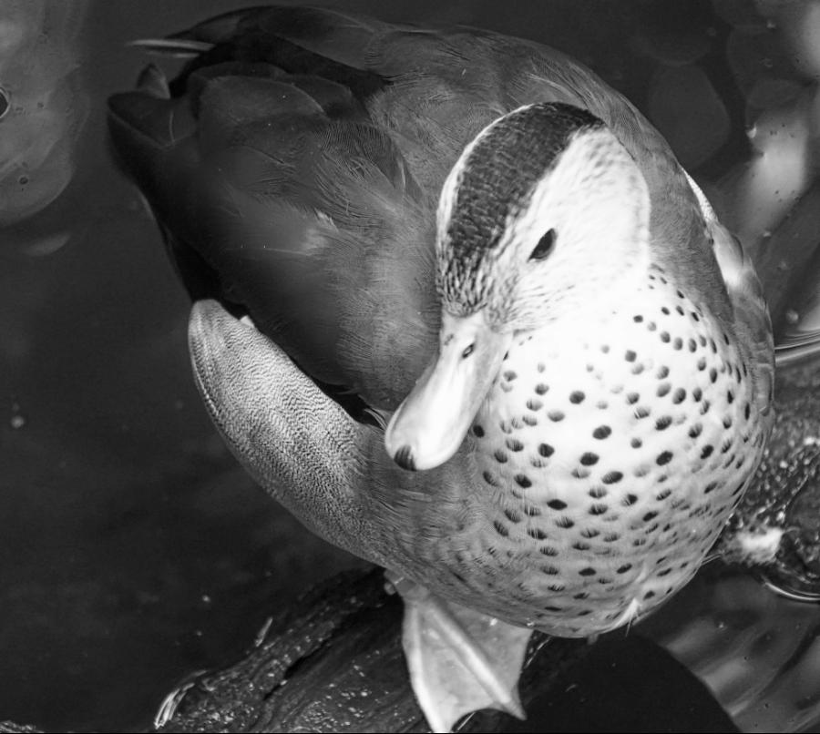 00-duck-3900-DSC04204_M900