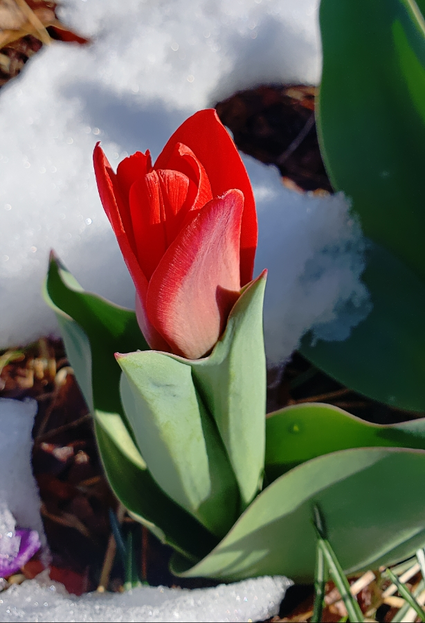 00-firsttulip-20180327_160333_A900