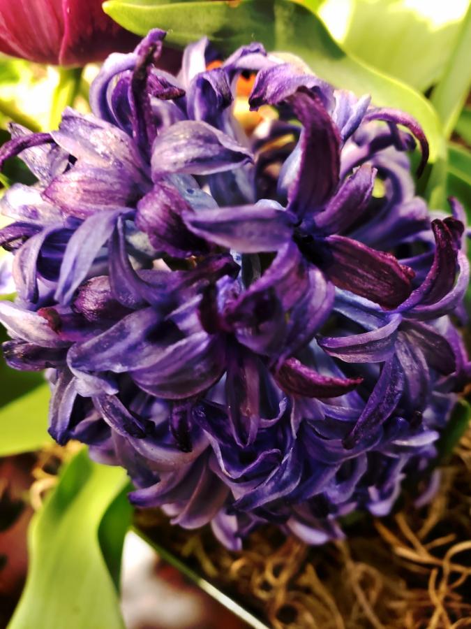 00-hyacinth-20180316_170935_40140443214_A900