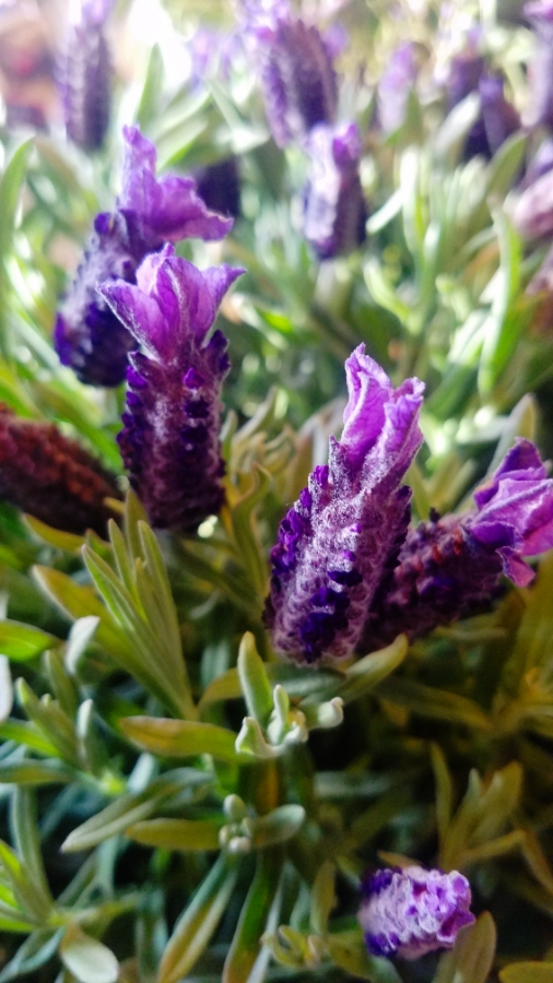 00-lavendar-900-20180311_171550_001_A
