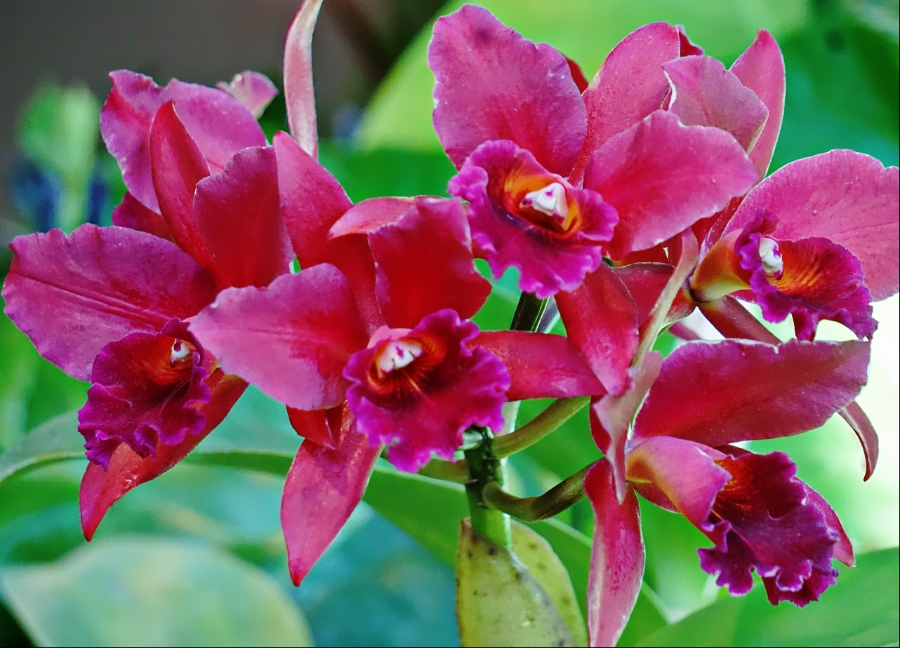 00-magenta-orchid-900-DSC03625A