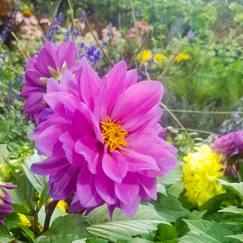 00-purple-dahlia-20180224_151536_900