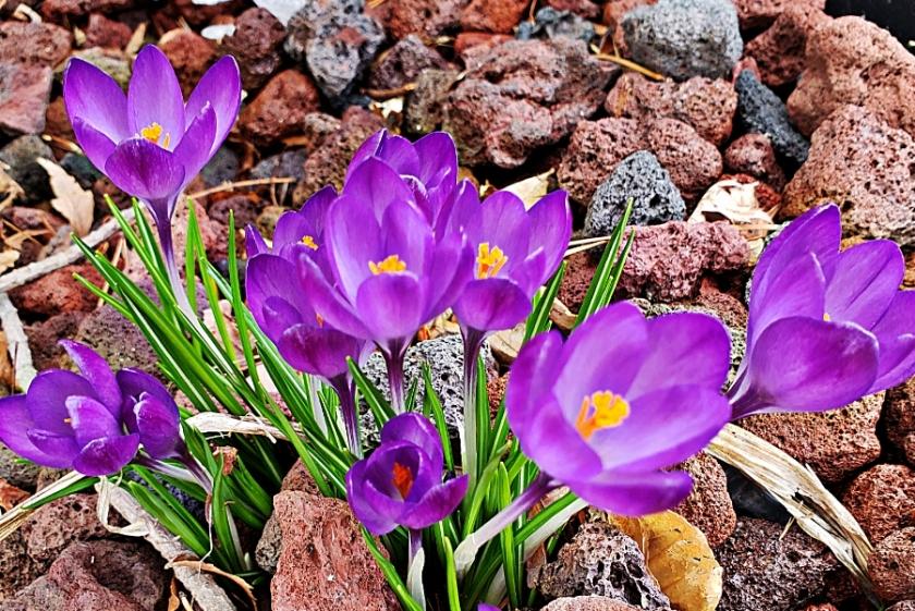 00-purplecrocus-900-20180321_165059B