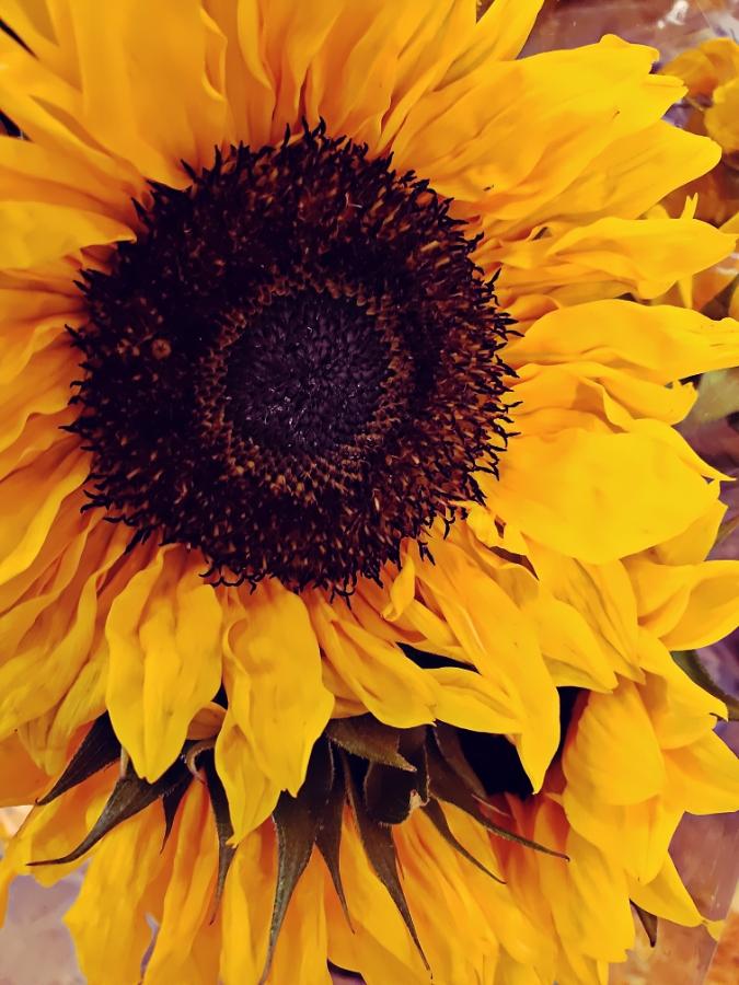 00-sunflower-900jpg