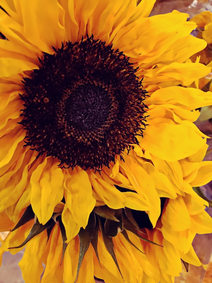 00-sunflower-900jpg