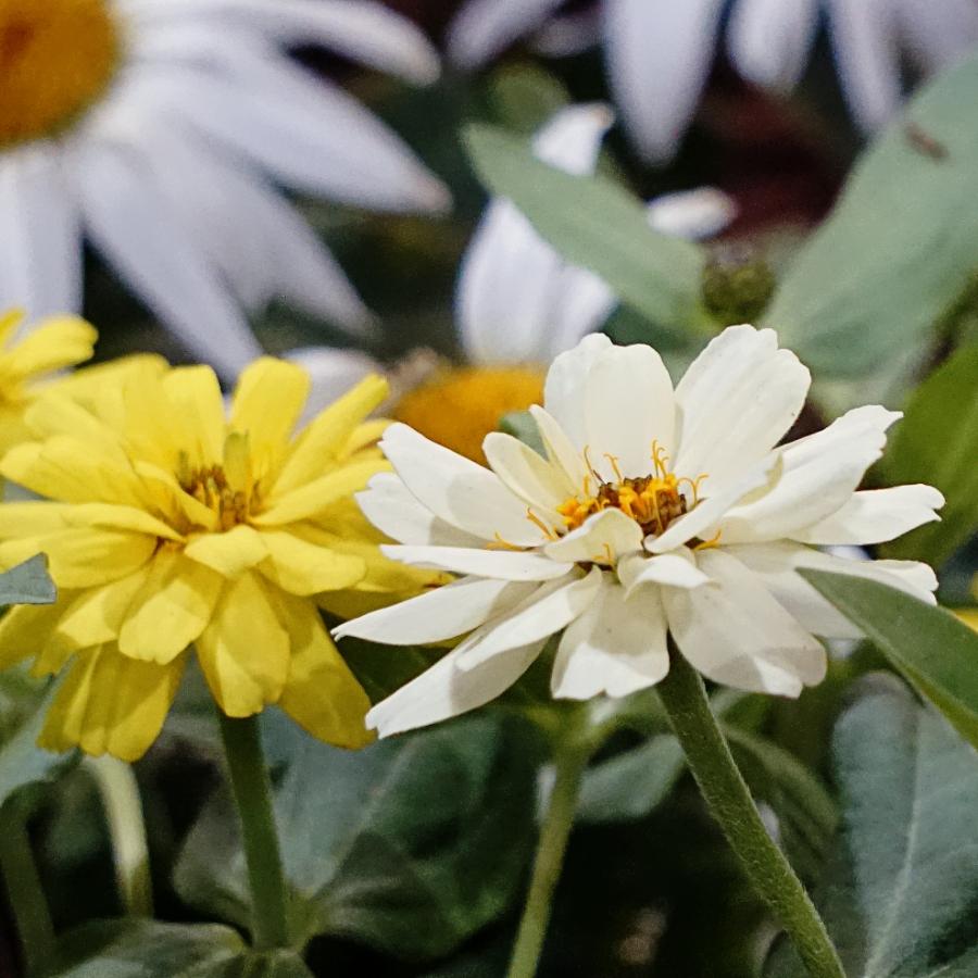 00-whitemarigold-DSC04512A900