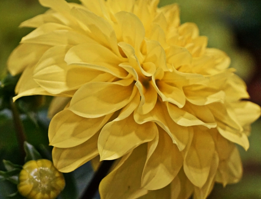 00-yellow-dahlia-DSC04567_900B