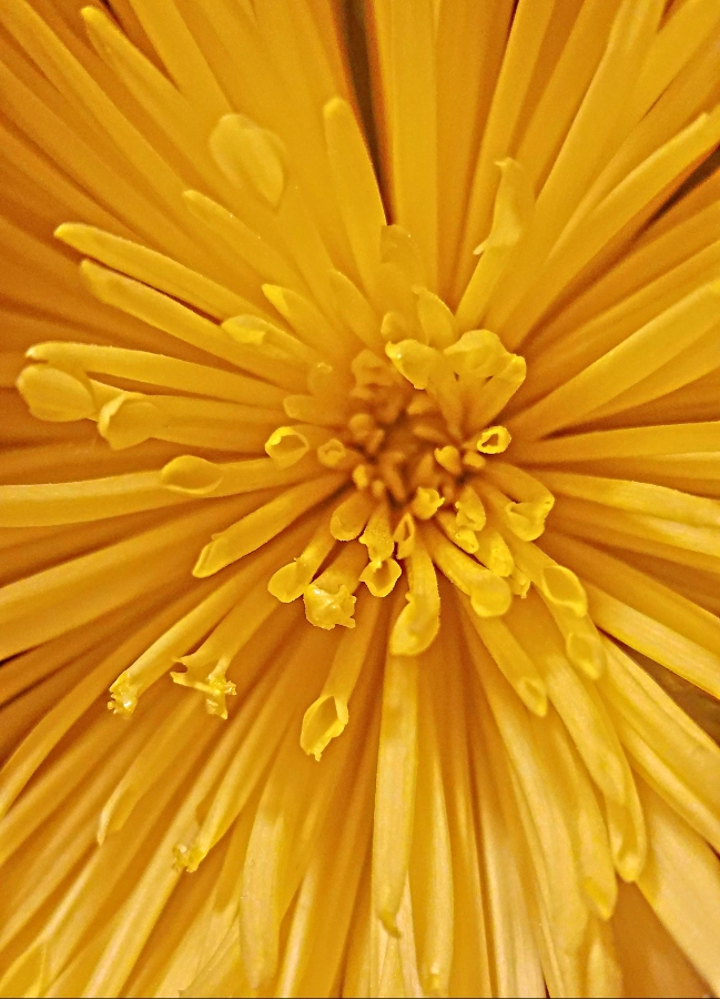 00-yellowmums-20180306_165519_900