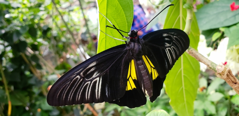 00-blkyellow-butterfly-20180429_143244_A.jpg