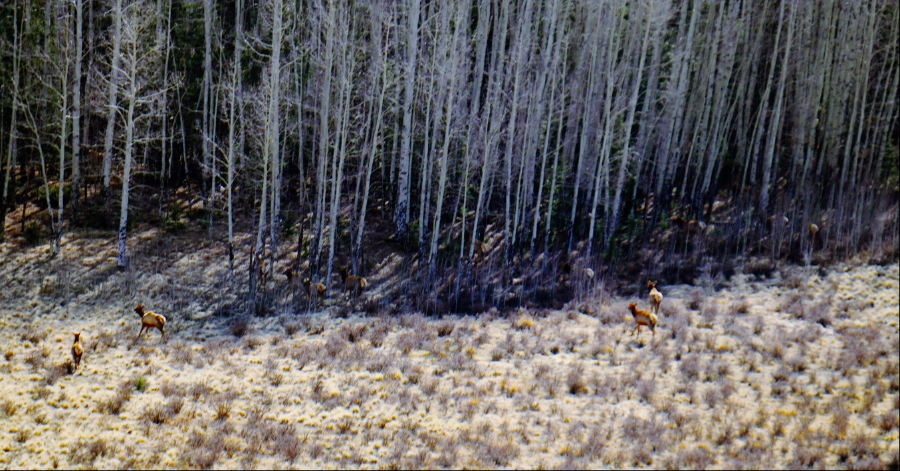 00-Elk-herd-forest-DSC05266_A900