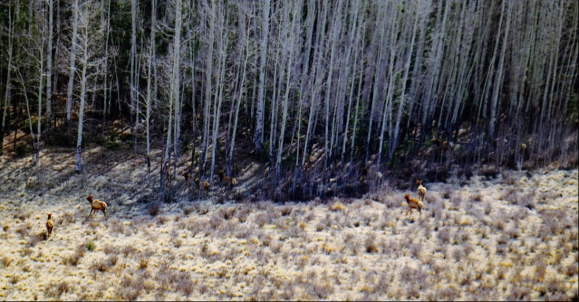 00-Elk-herd-forest-DSC05266_A900