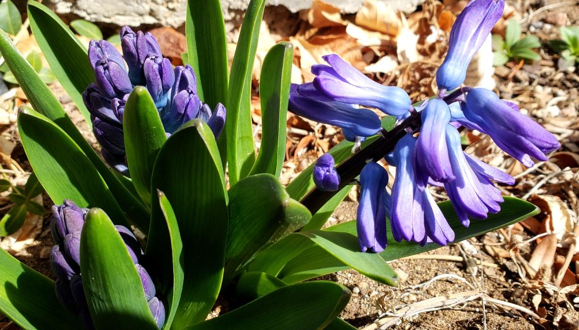 00-hyacinth-20180407_145024_A