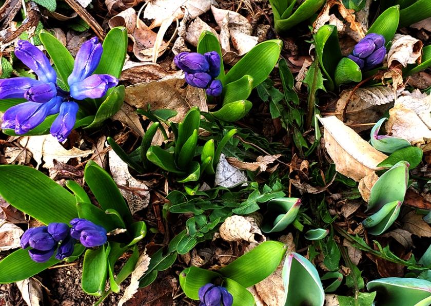00-hyacinth-spring-39543485570A900