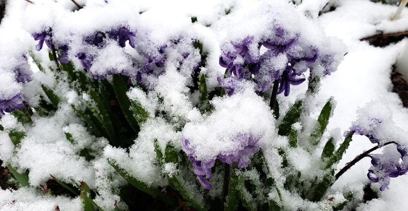 00-hyacinthinthesnow-26733850027_A900