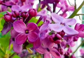 00-lilac-3-20180427_191917_40848750355A