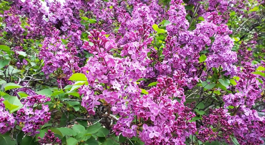 00-LilacsFullBloom-20180430_190214_26946430777A900