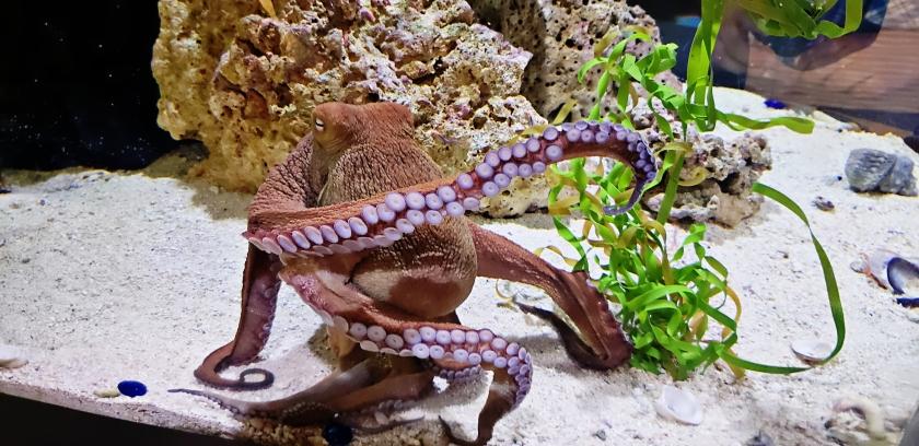 00-Octopus2-2018042A_pe