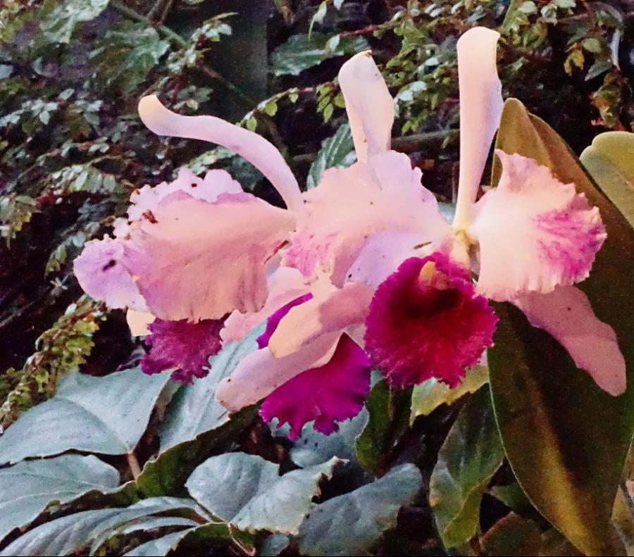 00-pinkorchid-DSC04266_A900