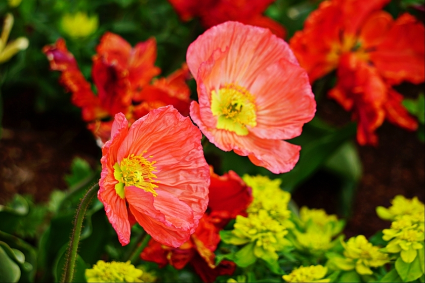 00-poppies-pink-DSC05316_A900