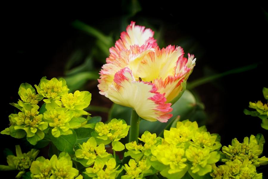 00-tulip-parrot-DSC05314_A900
