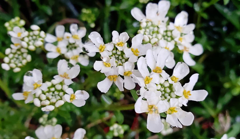 00-whiteflowers20180424_190328_A.jpg