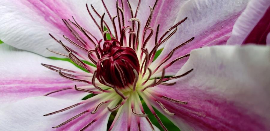 00-2018-Clematis-pink-macro900