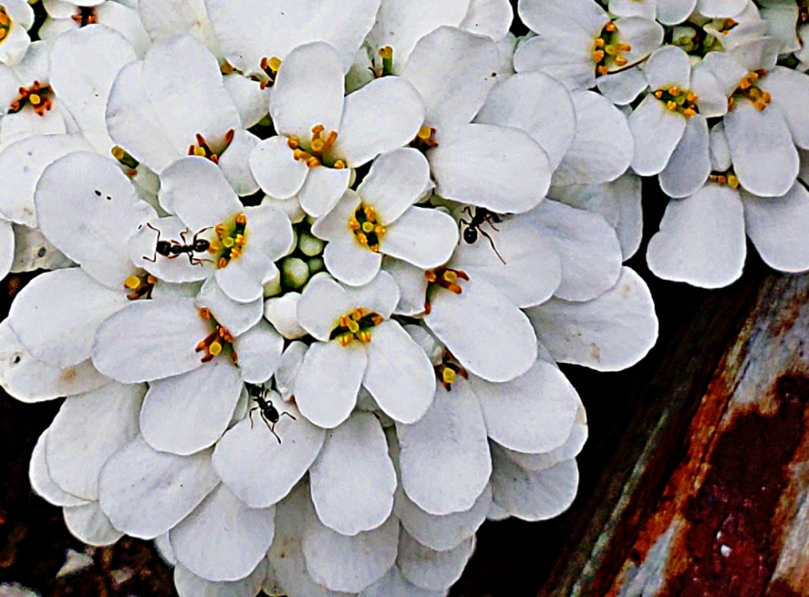 00-Ants-CandyTuft-SpringGarden-052018-40458935150_A