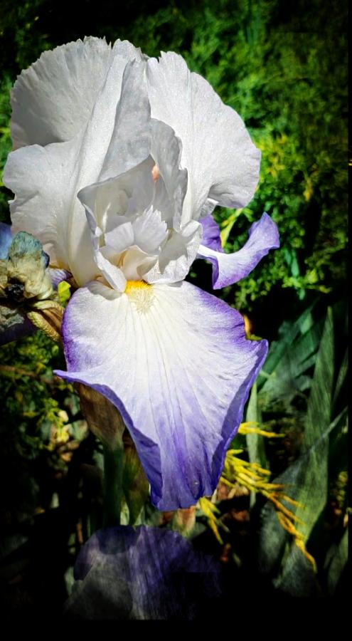 00-Iris-blueandwhite-20180524_144332_A900