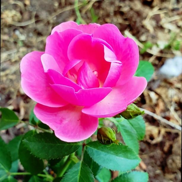 00-pinkflamingo-rose02018-05-27_06-30-56A900