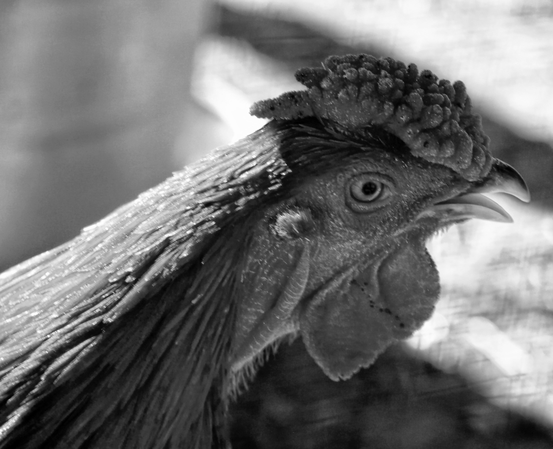 00-rooster-crowing_M