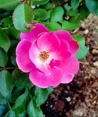 00-rose-pinkflamingo-2018-05-27_06-30-44A900