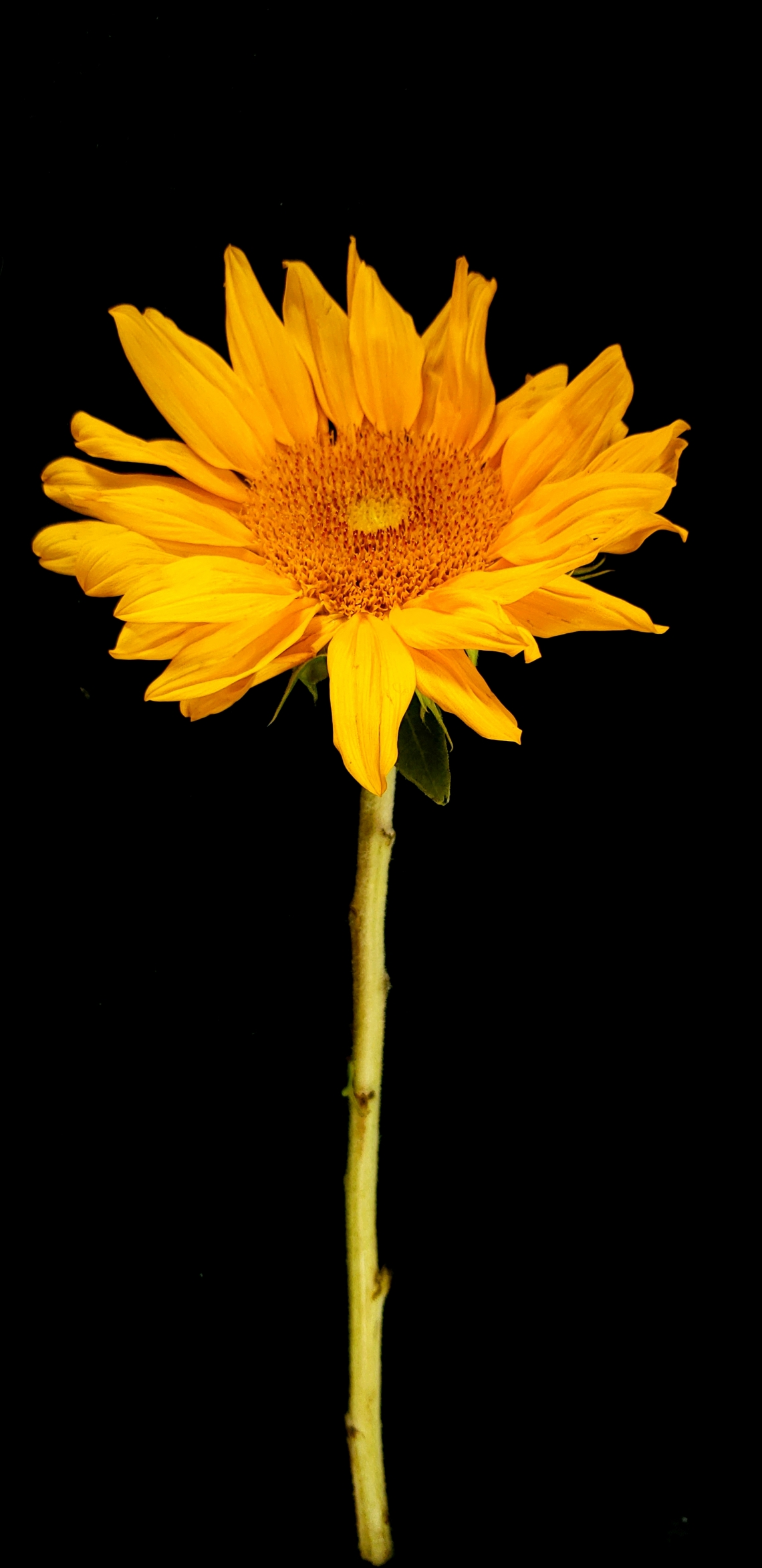 00-sunflower-single-20180510_113656_41978746232_A