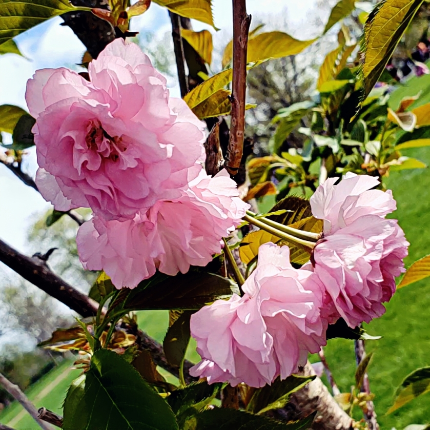 00-washpark-blossoms-20180505_091519_A