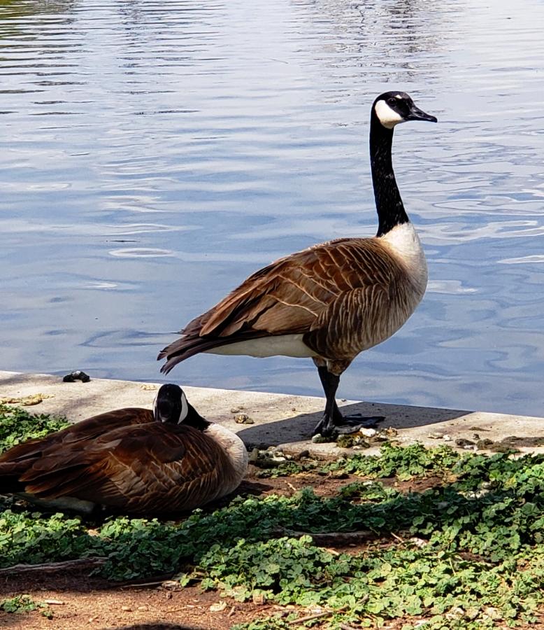 00-washpark-geese-20180505_104448_4101098A900