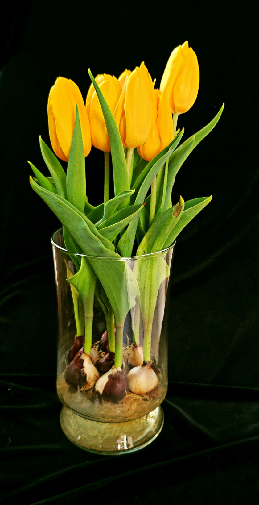 00-yellowtulips-20180511_162522_42002357172A