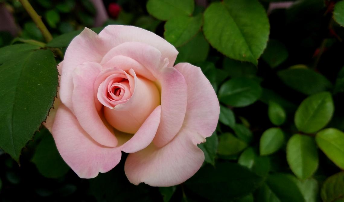 rose-20170529_143340_001