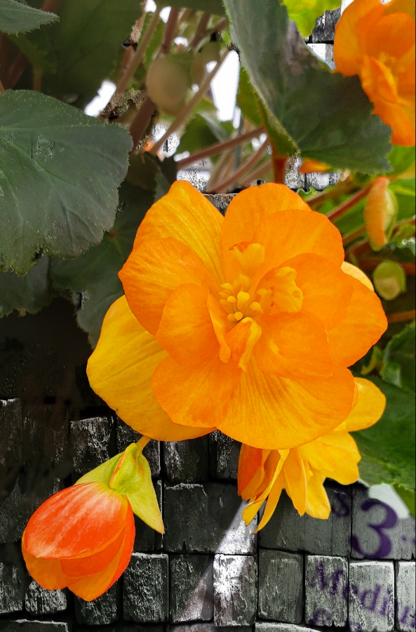 00-begonia-orange-_20180526_134928A900
