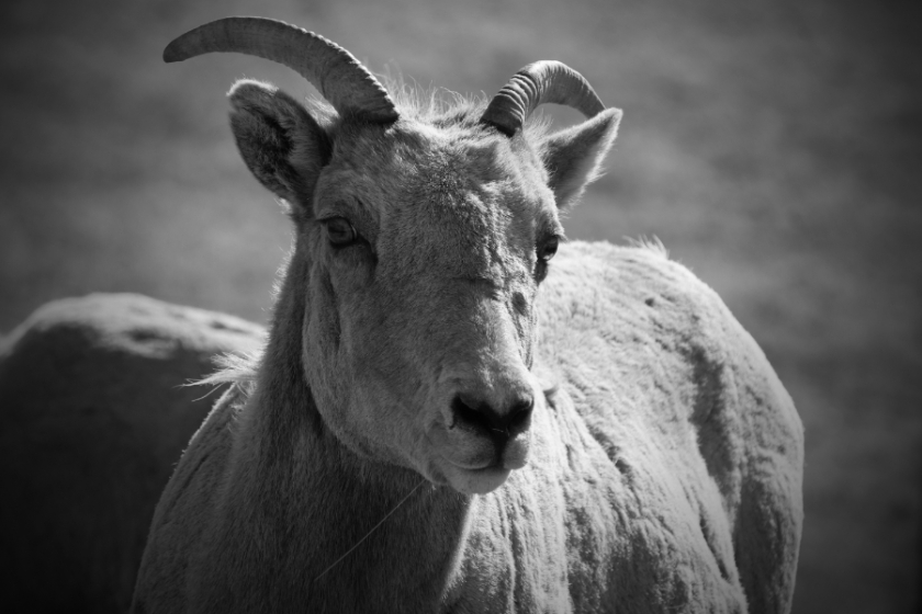 00-bighornsheep-female-M-DSC05275_900