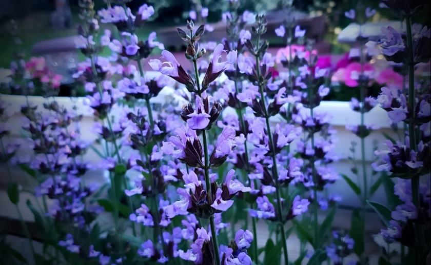 00-bloomingSage-20180601_192755_A900